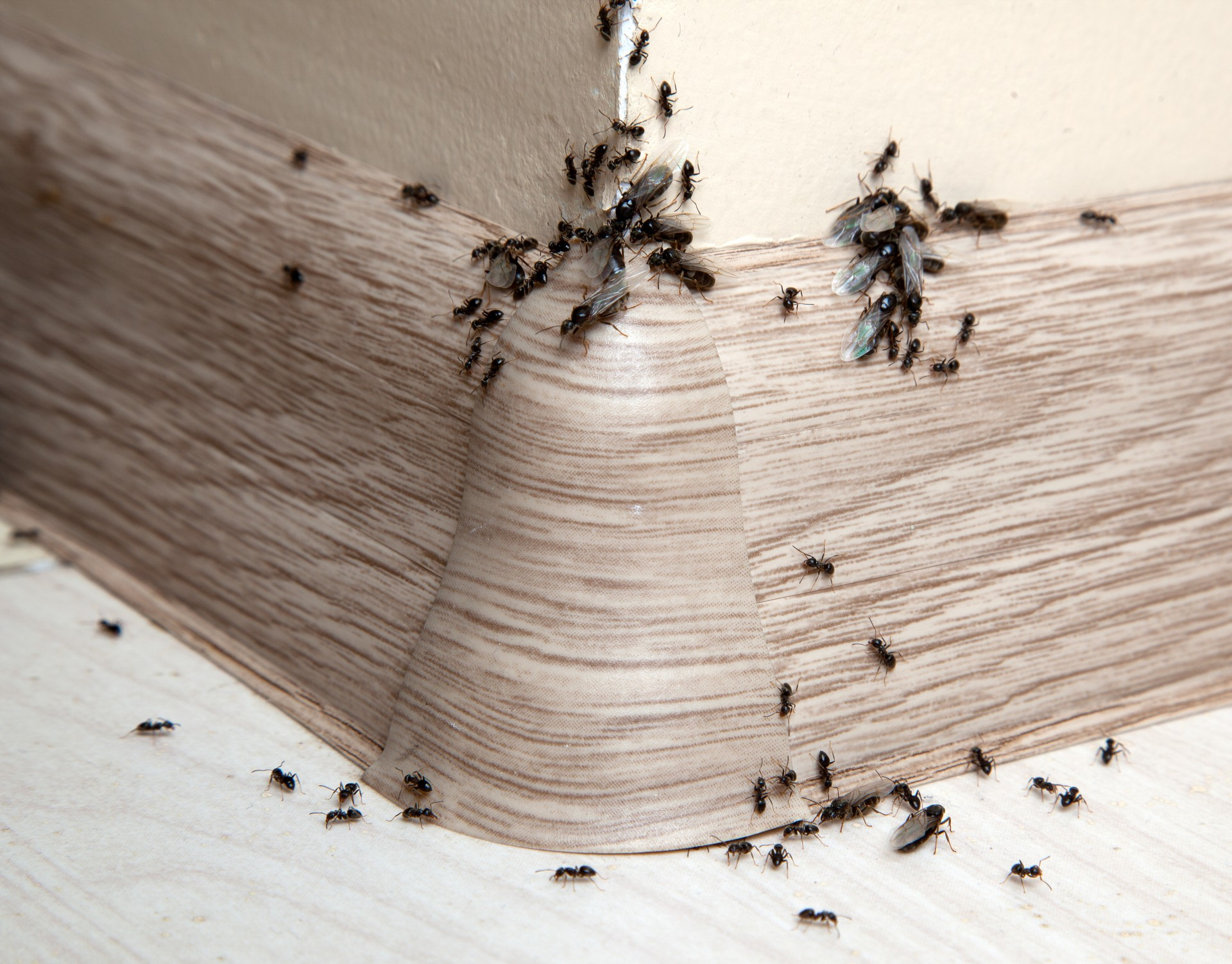Ant Infestation, Pest Control in West Byfleet, Byfleet, KT14. Call Now 020 8166 9746