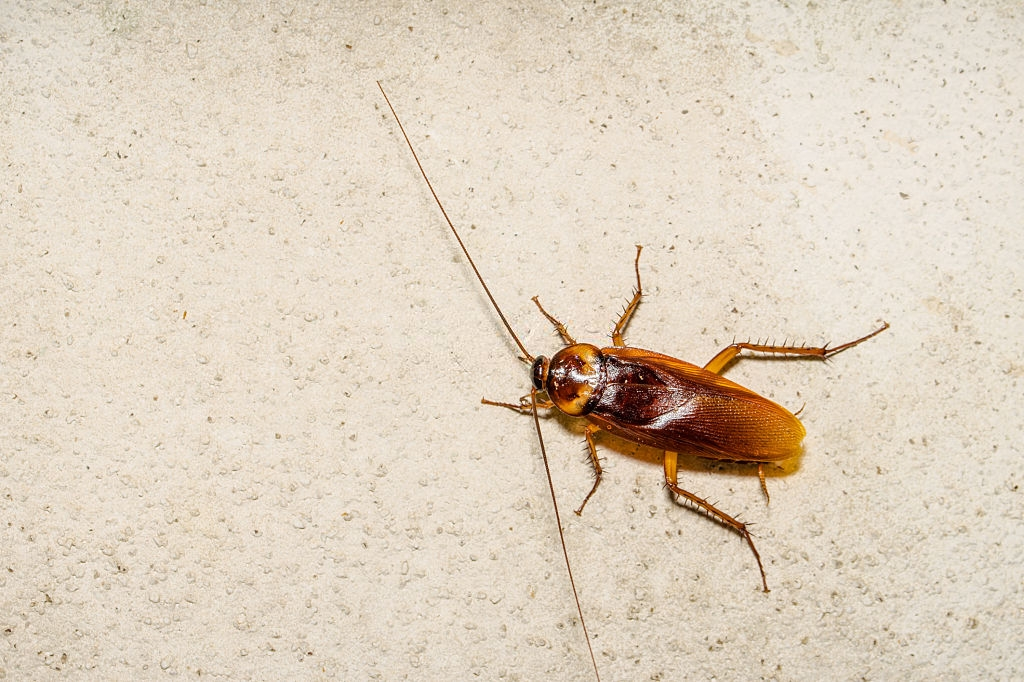 Cockroach Control, Pest Control in West Byfleet, Byfleet, KT14. Call Now 020 8166 9746