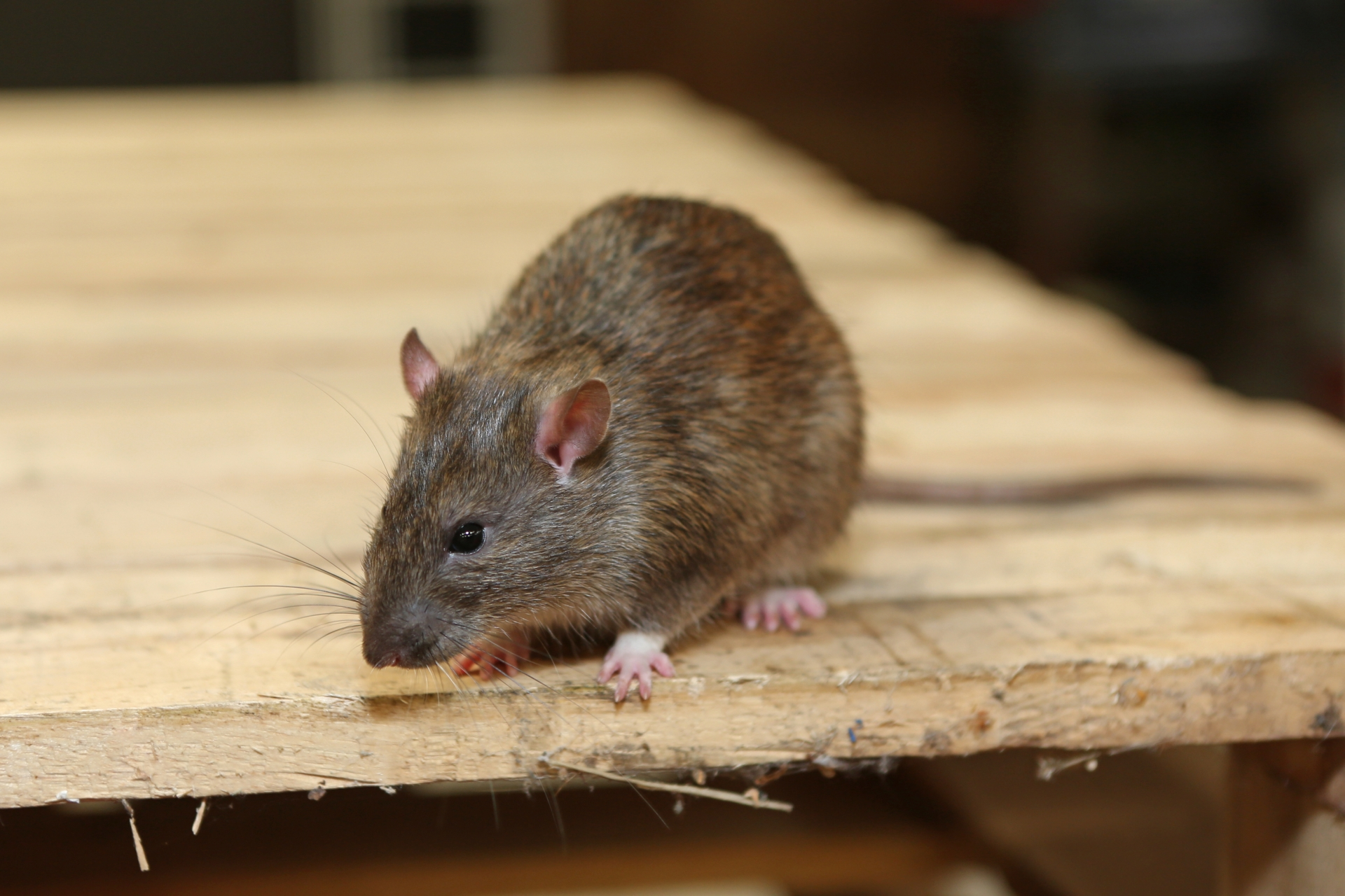 Rat Infestation, Pest Control in West Byfleet, Byfleet, KT14. Call Now 020 8166 9746