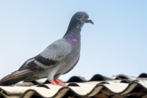 Pigeon Pest, Pest Control in West Byfleet, Byfleet, KT14. Call Now 020 8166 9746